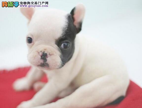 北京出售法国斗牛犬 奶油 黑色 红色公母都有