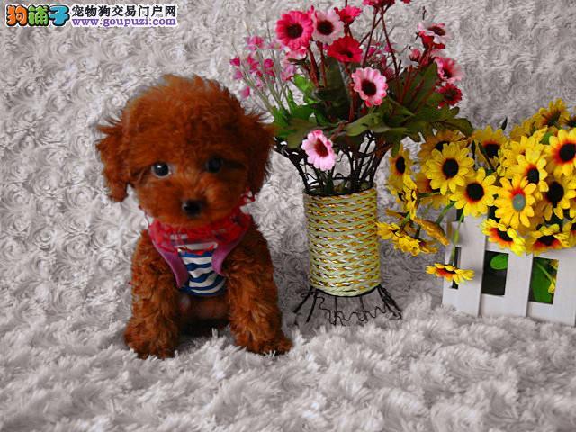 青岛自家狗场繁殖直销茶杯犬幼犬欢迎您的指导