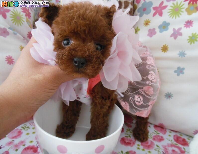 实物拍摄的深圳茶杯犬找新主人终身售后协议
