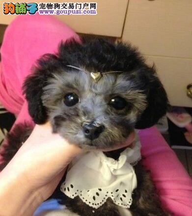 自家繁殖多只石家庄泰迪犬促销多个品种包活
