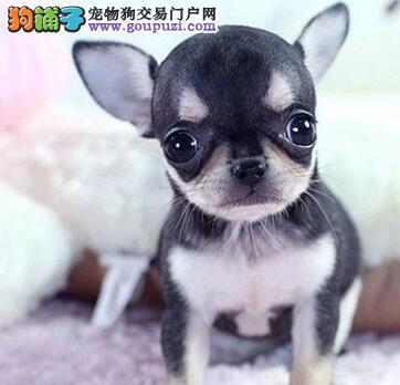 福州免费送货 看视频 吉娃犬纯种健康保终身