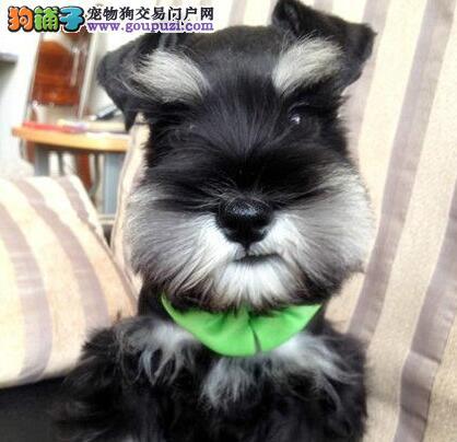 深灰色沈阳自家繁殖的雪纳瑞宝宝促销中 赠送宠物用品
