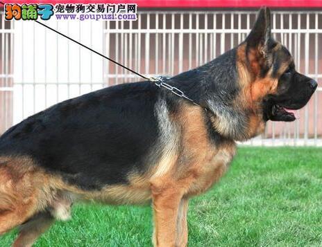 广州专业犬舍出售德国牧羊犬疫苗已注射