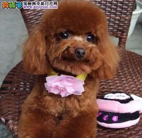 深圳哪里有卖贵宾狗深圳哪里买贵宾最好深圳哪里有狗场