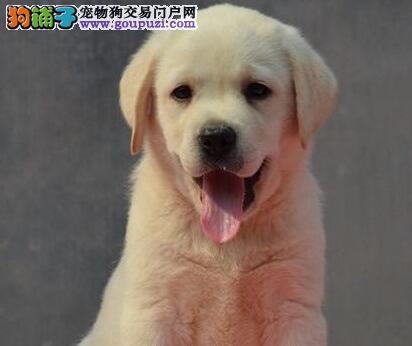 优惠促销南通拉布拉多犬公母都有售后有保障