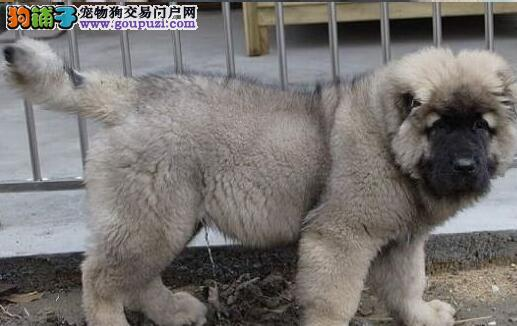 吐鲁番家养狼青色高加索犬大骨架看见护院必备