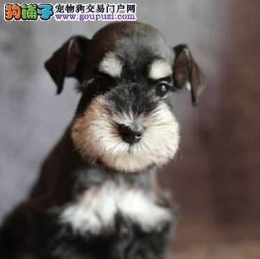 狗场优惠促销精品青岛雪纳瑞多个颜色欢迎选购