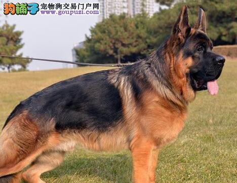 德国牧羊犬幼犬热销中 公母均有多只选择 绝对信誉保证