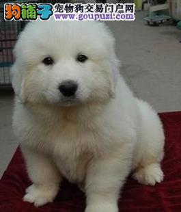 纯种骨架高大大白熊宝宝转让、毛色漂亮活泼可爱包健康