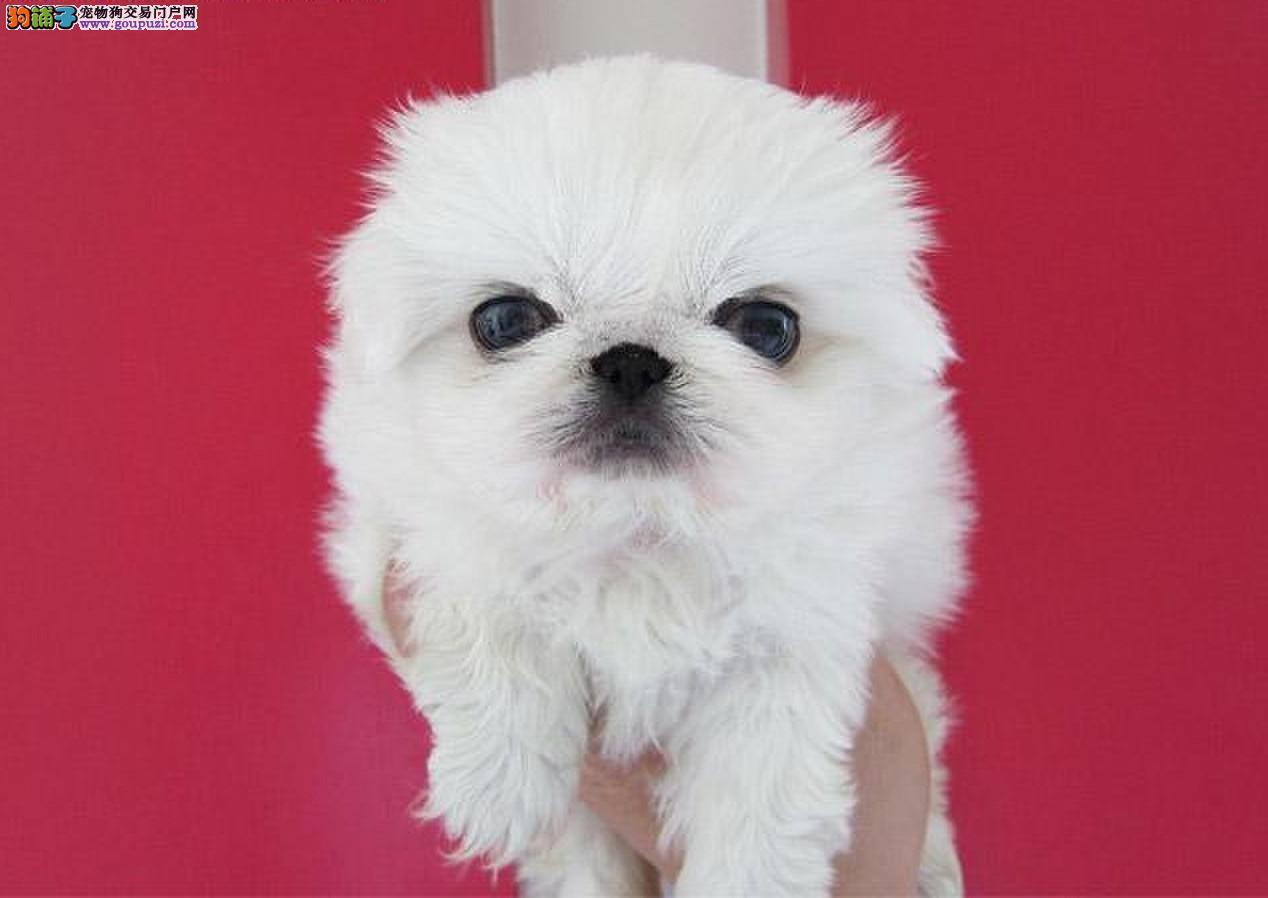 家养纯种京巴幼犬北京犬宝宝高品质保质量