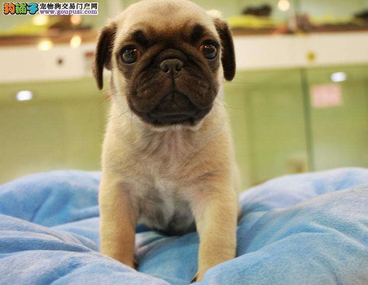 温顺,可爱,纯种巴哥犬,品质一流,质量保证