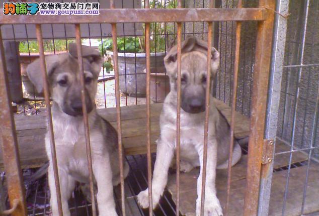 武汉大型犬舍低价热卖极品昆明犬实物拍摄直接视频