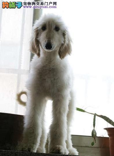 本地出售高品质阿富汗猎犬宝宝终身售后送货
