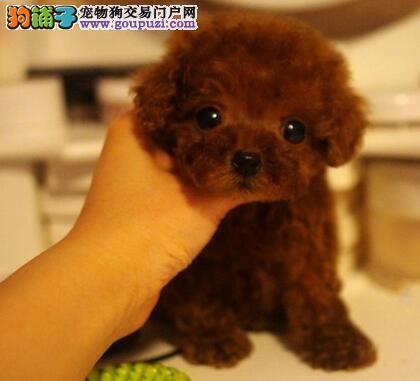 哈尔滨正规犬舍预售韩系泰迪犬 可办理血统证书品相好