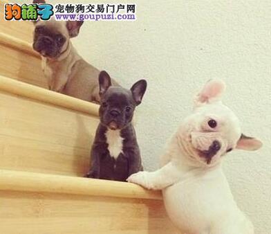 最大犬舍出售多种颜色法国斗牛犬支持全国空运发货
