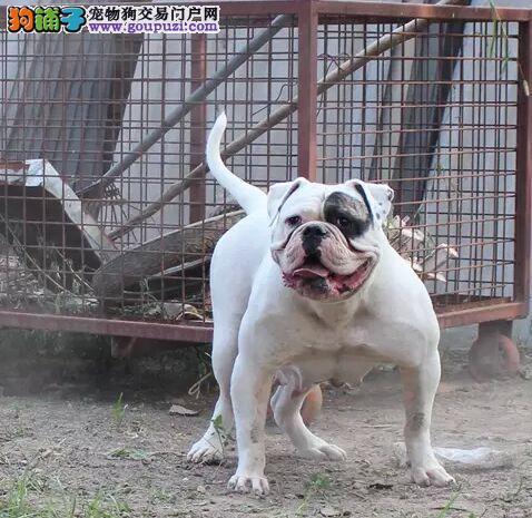 出售正宗血统优秀的美国斗牛犬实物拍摄直接视频