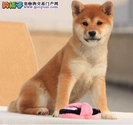 纯种日本小柴犬 黑色 赤色 健康品质保证