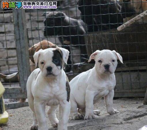 高品质的武汉美国斗牛犬找爸爸妈妈包养活送用品