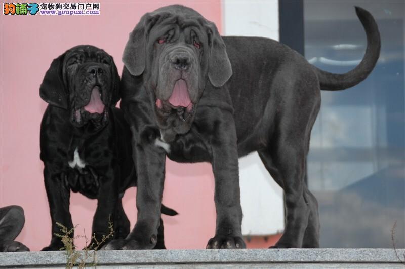 纽波利顿犬犬舍 纽波利顿多少钱 纽波利顿价格