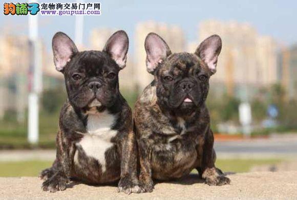 热销多只优秀的纯种大同法国斗牛犬购犬可签协议