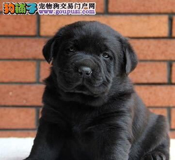 狗场直销血统纯正西宁拉布拉多犬售后有保障