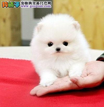 纯种俊介犬一只多少钱广州什么地方有卖纯种俊介犬