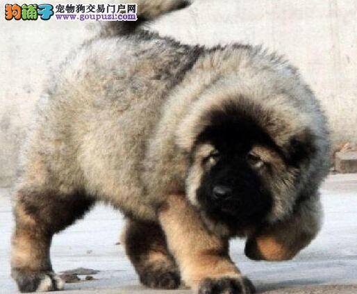 直销高品质厦门高加索犬 纯正俄系熊版保证身体健康