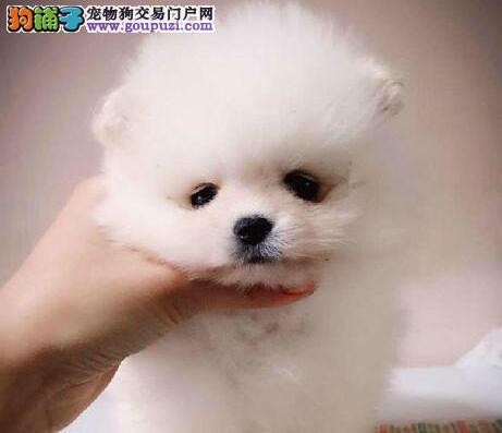 转让哈多利版厦门博美犬 品质有保证包您购买不后悔