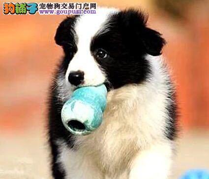成都纯种边境牧羊犬宝宝出售(智商第一)包健康品质