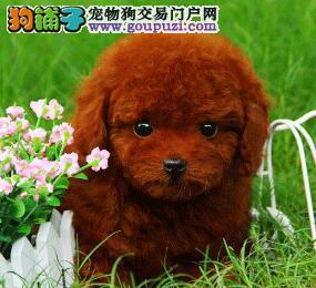 超小体红色泰迪熊宝宝出售了,超可爱哦!!!