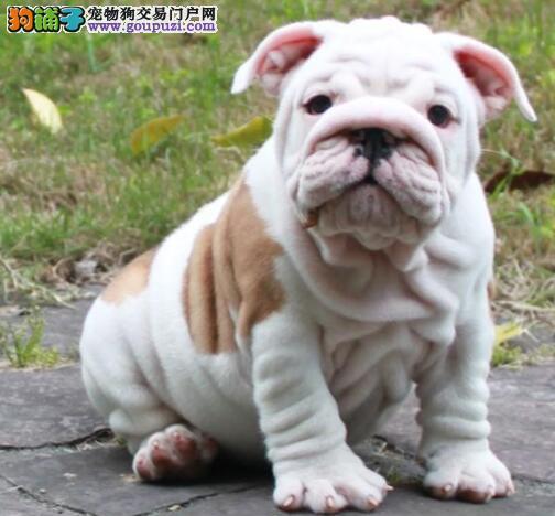 广州大型养殖犬舍出售螺旋尾巴高气质斗牛犬 非诚勿扰
