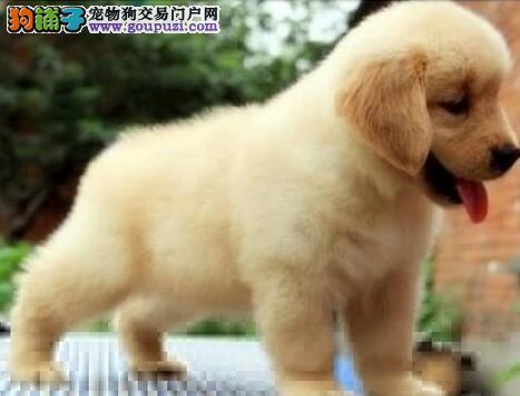 直销优秀大骨架金毛犬 深圳周边地区可当面看狗
