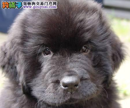高品质的武汉纽芬兰犬找爸爸妈妈冠军级血统品质保障