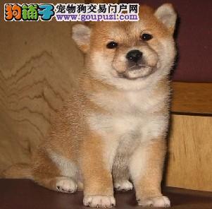 出售纯种健康的六盘水柴犬幼犬微信咨询视频看狗