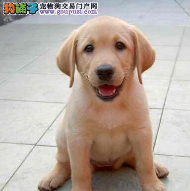 自家繁殖纯种哈尔滨拉布拉多犬转让保证健康