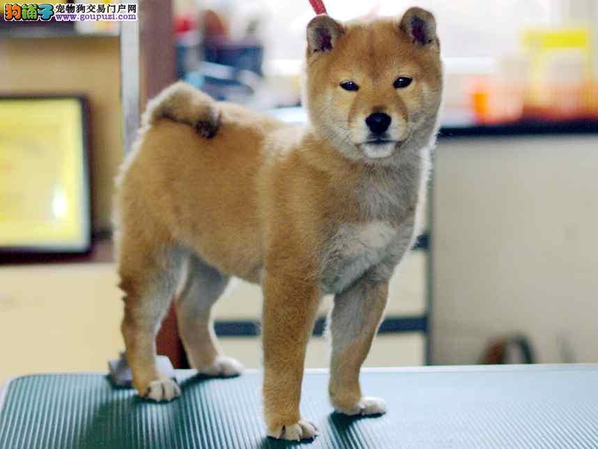 出售国内顶级柴犬 冠军血统 赛级品质