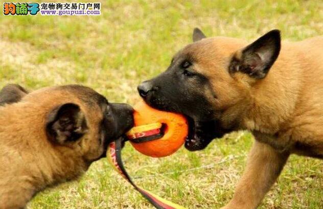 家养多只马犬宝宝出售中微信看狗真实照片包纯
