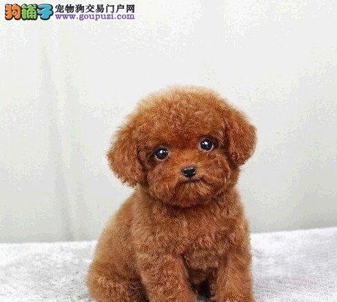 纯种泰迪犬出售、品相血统一级棒、签署合同质保