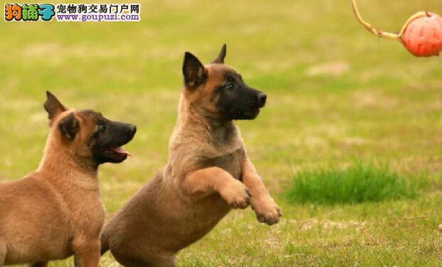 个人家养纯种马犬北京地区可送上门