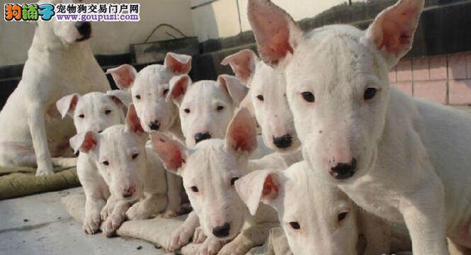 高品质牛头梗带血统出售中 终身质保 可签协议