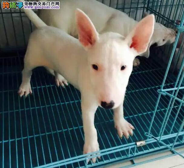 专业繁殖牛头梗幼犬出售、高品质、纯血统、保健康