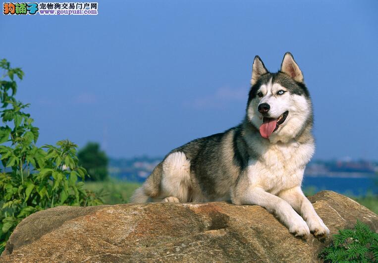 哈士奇幼犬热销中,纯度第一品质第一,质保健康90天