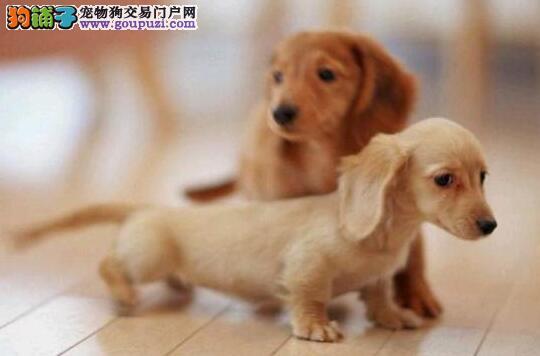 武汉高品质赛级腊肠犬3个月驱虫已做 包健康
