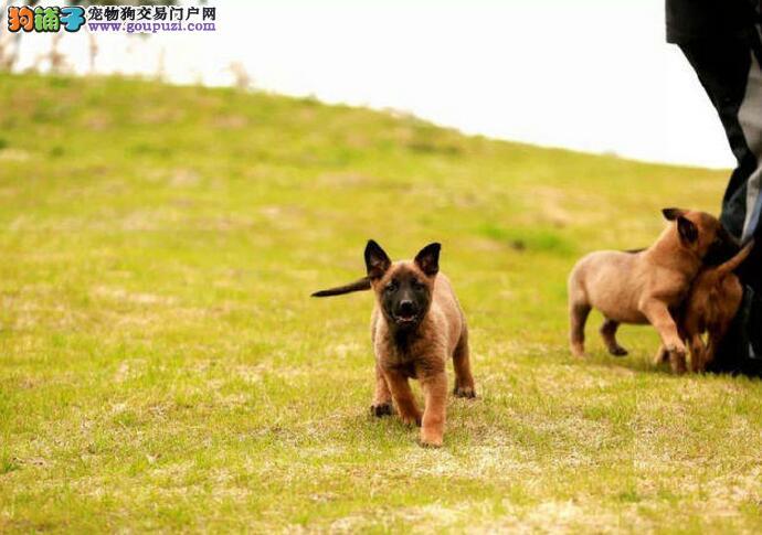极品马犬 喜欢的朋友不要错过 量少 深圳上门选狗