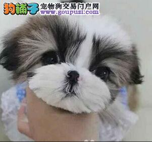 可爱温顺西施犬 适合家庭小型犬 西施幼犬