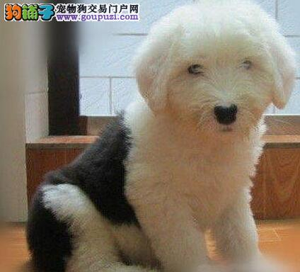 深圳哪里有卖古牧幼犬 纯种英国古代牧羊犬价格