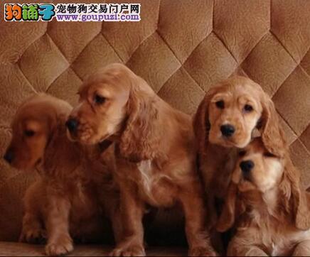 可卡火爆销售中,公母都有纯种健康,提供养狗指导