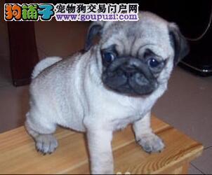 广州出售极品赛级巴哥幼犬接受预定 带血统 芯片
