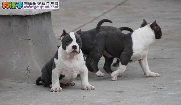 徐州纯种家养比特犬 预约有优惠随时微信看狗