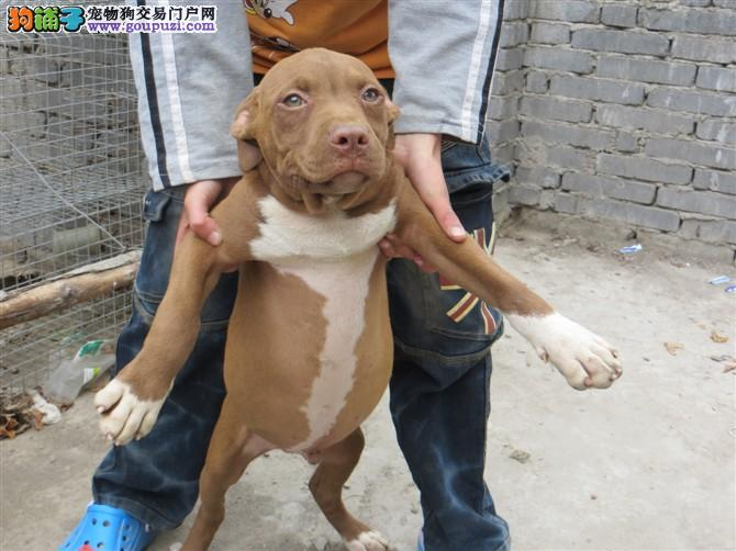 CKU认证犬舍出售高品质比特犬我们承诺终身免费售后